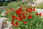 bright red poppies
