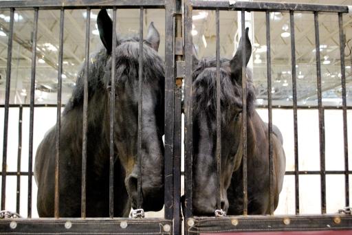 Duke & Mike: Percheron geldings