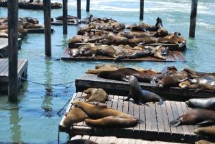 Very loud sea lions