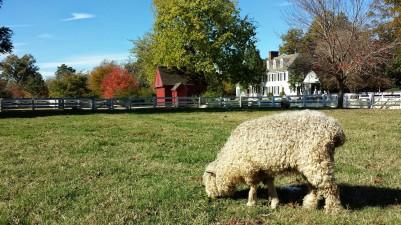 sheep Williamsburg