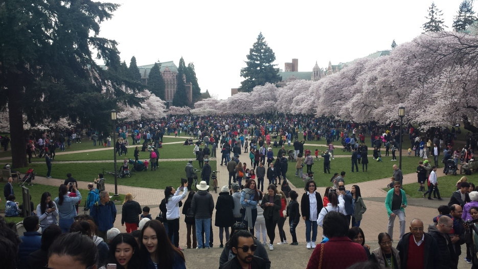 Crowds of people to see Cherry blossoms at University of Washington